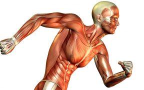 izom anatómia - izomrostok