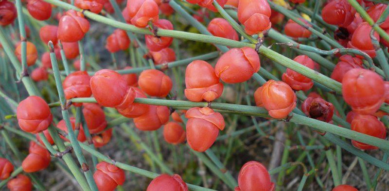 gyógynövény - Efedra forrás